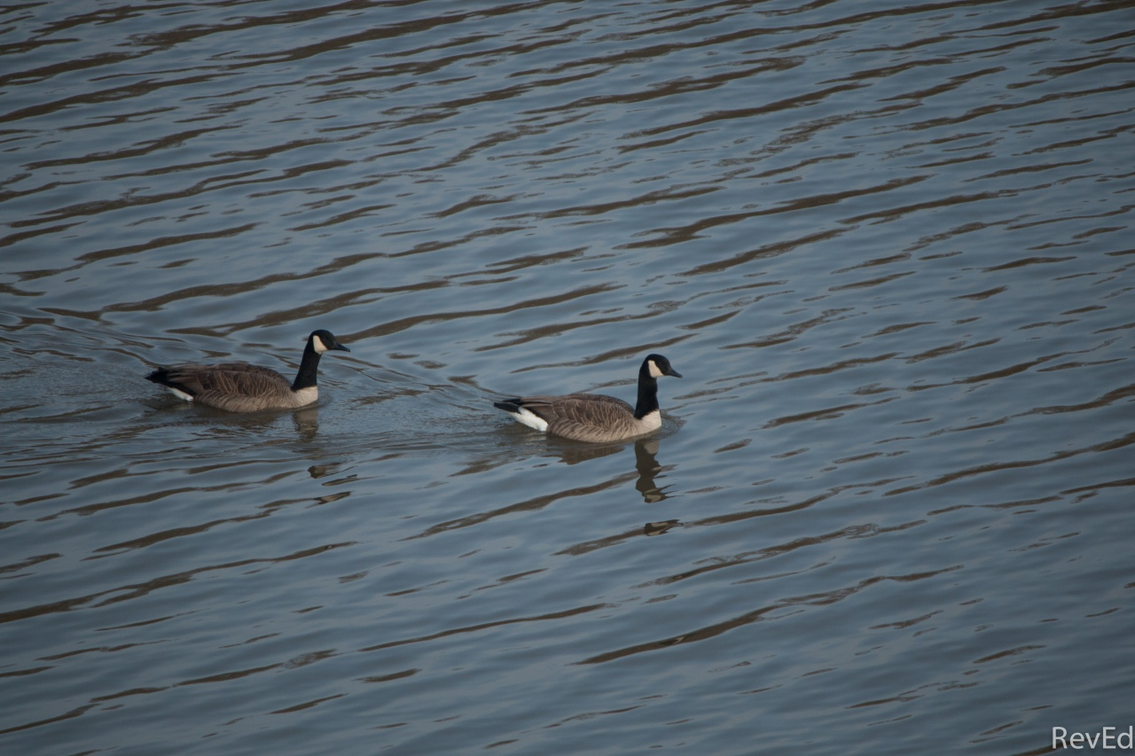 Imago Adventus – 12 –Geese