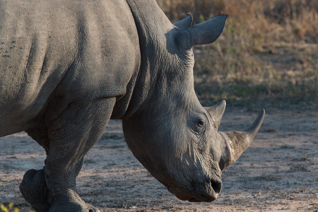 Gratitude 18 –Rhinos